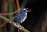 Thrushes, Pipits and Babblers of Malaysia