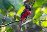 Trogons,Treeswifts and Cuckoos of Malaysia