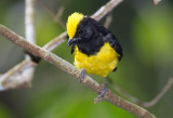 Tits and Flycatchers of Malaysia