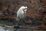 Great White Egret With Alligator