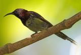 Black Throated Sunbird
