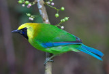 Blue Winged Leafbird
