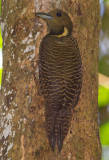 Buff Necked Woodpecker