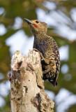 Buff Rumped Woodpecker