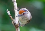 Chestnut Crowned Babbler