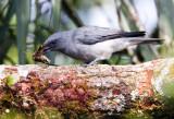 Javan Cuckoo Shrike