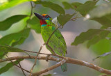 Red Throated Barbet
