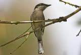 Bar Winged Flycatcher Shrike