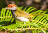 DarkNecked Tailorbird