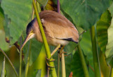 Waders and Waterbirds of Malaysia