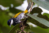 Bulbuls and Forktails of Malaysia