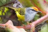 Warblers,Tailorbirds and Prinias of Malaysia