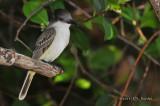 Loggherhead Kingbird