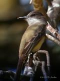 LoggerheadKingbird1283b.jpg