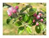 Apple tree flowers in Normandie