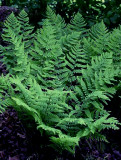 Eastern (Marginal) Wood Fern