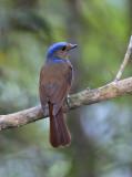 Large Niltava (female)