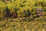 Forest on Pašman gozd na Pašmanu_MG_07191-111.jpg