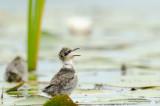 Hungry Black Tern Chick