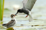 Black Tern Chick Being Fed