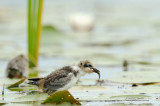Black Tern Chick With Fish