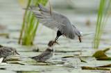 Adult Black Tern Feeding Its Chick