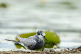 Black Tern With Eggs