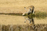 Lioness At The Khwai River