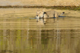 Lioness In The Khwai River