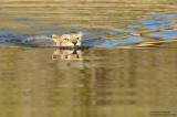 Lioness Crossing The Khwai River