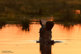 Hippos in The Khwai River