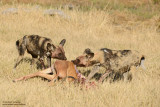 Wild Dogs With A Kill