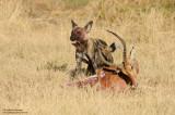 Wild Dog At The Kill