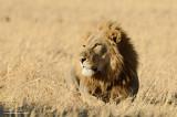 Male Savuti Lion
