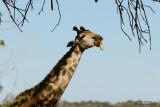 Giraffe Eating The Sausage Tree Fruit