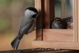 Carolina Chickadee and Chipping Sparrow
