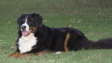 My Bernese Mountain Dogs