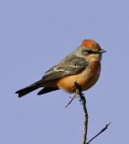 Vermilion Flycatcher - A Rare Visitor to Arkansas