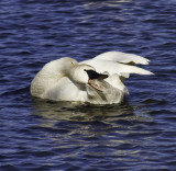 Trumpeter Swans at Magness Lake    2011 - 2012   Heber Springs, AR