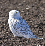 Snowy Owl in Missouri 2012