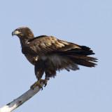 Bald Eagles 2012
