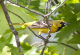 Orchard Oriole, first year male