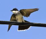 Eastern Kingbird, hungry baby