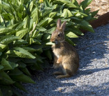 Bunny at Legacy Gardens, eating Rudbeckia.