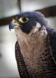 Educational Bird - Peregrine Falcon