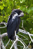 Black Vulture - JFK Campground Greers Ferry, AR