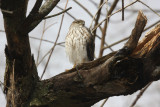 Rescued Juvenile Sharp-shinned Hawk