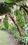 Bananas at Lodge