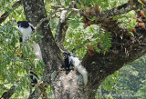 Colobus Monkeys in Arusha National Park