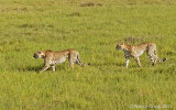 Cheetahs8769.jpg